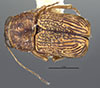 http://mczbase.mcz.harvard.edu/specimen_images/entomology/large/MCZ-ENT00024943_Pachybrachys_indifferens_had.jpg
