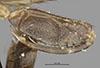 http://mczbase.mcz.harvard.edu/specimen_images/entomology/large/MCZ-ENT00025377_Plega_fratercula_bop.jpg