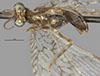 http://mczbase.mcz.harvard.edu/specimen_images/entomology/large/MCZ-ENT00025377_Plega_fratercula_hav.jpg