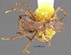 http://mczbase.mcz.harvard.edu/specimen_images/entomology/large/MCZ-ENT00025619_Trachymyrmex_zeteki_had.jpg