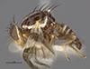 http://mczbase.mcz.harvard.edu/specimen_images/entomology/large/MCZ-ENT00025702_Trypeta_pomonella_hal.jpg