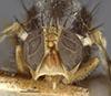 http://mczbase.mcz.harvard.edu/specimen_images/entomology/large/MCZ-ENT00025702_Trypeta_pomonella_hef.jpg
