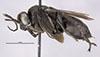 http://mczbase.mcz.harvard.edu/specimen_images/entomology/large/MCZ-ENT00025742_Psammochares_parsonsi_hal.jpg