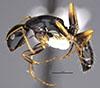 http://mczbase.mcz.harvard.edu/specimen_images/entomology/large/MCZ-ENT00026108_Camponotus_tricolor_hala.jpg