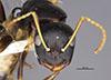 http://mczbase.mcz.harvard.edu/specimen_images/entomology/large/MCZ-ENT00026108_Camponotus_tricolor_hefa.jpg