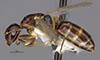 http://mczbase.mcz.harvard.edu/specimen_images/entomology/large/MCZ-ENT00026111_Camponotus_hapi_hala.jpg