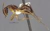http://mczbase.mcz.harvard.edu/specimen_images/entomology/large/MCZ-ENT00026112_Camponotus_maculatus_sudanicus_hala.jpg