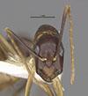 http://mczbase.mcz.harvard.edu/specimen_images/entomology/large/MCZ-ENT00026112_Camponotus_maculatus_sudanicus_hefa.jpg