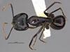 http://mczbase.mcz.harvard.edu/specimen_images/entomology/large/MCZ-ENT00026113_Camponotus_maculatus_rubis_had.jpg