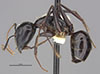 http://mczbase.mcz.harvard.edu/specimen_images/entomology/large/MCZ-ENT00026113_Camponotus_maculatus_rubis_hala.jpg