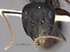 http://mczbase.mcz.harvard.edu/specimen_images/entomology/large/MCZ-ENT00026113_Camponotus_maculatus_rubis_hefa.jpg