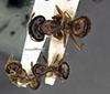 http://mczbase.mcz.harvard.edu/specimen_images/entomology/large/MCZ-ENT00026116_Camponotus_chapini_ganzii_hadc.jpg