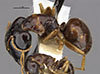 http://mczbase.mcz.harvard.edu/specimen_images/entomology/large/MCZ-ENT00026116_Camponotus_chapini_ganzii_hala.jpg