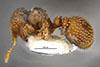 http://mczbase.mcz.harvard.edu/specimen_images/entomology/large/MCZ-ENT00026119_Calyptomyrmex_brevis_hala.jpg