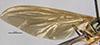 http://mczbase.mcz.harvard.edu/specimen_images/entomology/large/MCZ-ENT00026152_Baccha_nectarina_fwg.jpg
