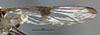 http://mczbase.mcz.harvard.edu/specimen_images/entomology/large/MCZ-ENT00026154_Baccha_bipunctipennis_fwg.jpg