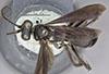 http://mczbase.mcz.harvard.edu/specimen_images/entomology/large/MCZ-ENT00026228_Psammochares_alcatara_had.jpg