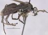 http://mczbase.mcz.harvard.edu/specimen_images/entomology/large/MCZ-ENT00026228_Psammochares_alcatara_hal.jpg