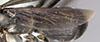 http://mczbase.mcz.harvard.edu/specimen_images/entomology/large/MCZ-ENT00026228_Psammochares_alcatara_hwg.jpg
