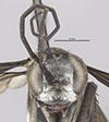 http://mczbase.mcz.harvard.edu/specimen_images/entomology/large/MCZ-ENT00026229_Psammochares_caloderes_hef.jpg