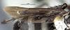 http://mczbase.mcz.harvard.edu/specimen_images/entomology/large/MCZ-ENT00026229_Psammochares_caloderes_hwg.jpg