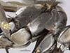 http://mczbase.mcz.harvard.edu/specimen_images/entomology/large/MCZ-ENT00026229_Psammochares_caloderes_thl.jpg