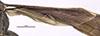 http://mczbase.mcz.harvard.edu/specimen_images/entomology/large/MCZ-ENT00026232_Psammochares_vestoris_hwg.jpg