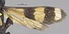 http://mczbase.mcz.harvard.edu/specimen_images/entomology/large/MCZ-ENT00026663_Balboana_elegans_fwg.jpg