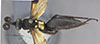 http://mczbase.mcz.harvard.edu/specimen_images/entomology/large/MCZ-ENT00026663_Balboana_elegans_had.jpg