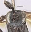 http://mczbase.mcz.harvard.edu/specimen_images/entomology/large/MCZ-ENT00026663_Balboana_elegans_hef.jpg