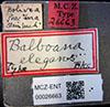 http://mczbase.mcz.harvard.edu/specimen_images/entomology/large/MCZ-ENT00026663_Balboana_elegans_lbs.jpg