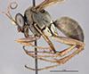 http://mczbase.mcz.harvard.edu/specimen_images/entomology/large/MCZ-ENT00026703_Aplochares_adrastes_hal.jpg