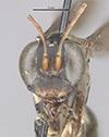 http://mczbase.mcz.harvard.edu/specimen_images/entomology/large/MCZ-ENT00026703_Aplochares_adrastes_hef.jpg