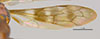Media of type image, shows cataloged_item. MCZ:Ent:26763 Identified as Catachlorops bahianus type status Holotype of Priophanes pictipennis. . Aspect: wing