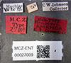 http://mczbase.mcz.harvard.edu/specimen_images/entomology/large/MCZ-ENT00027009_Renocera_amanda_lbs.jpg