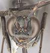 http://mczbase.mcz.harvard.edu/specimen_images/entomology/large/MCZ-ENT00027223_Priochilus_fraternus_hef.jpg
