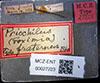 http://mczbase.mcz.harvard.edu/specimen_images/entomology/large/MCZ-ENT00027223_Priochilus_fraternus_lbs.jpg