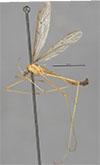 http://mczbase.mcz.harvard.edu/specimen_images/entomology/large/MCZ-ENT00027295_Tricyphona_johnsoni_hal.jpg