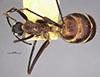 http://mczbase.mcz.harvard.edu/specimen_images/entomology/large/MCZ-ENT00027307_Camponotus_pompeius_had.jpg