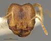http://mczbase.mcz.harvard.edu/specimen_images/entomology/large/MCZ-ENT00028095_Pheidole_californica_var_shoshoni_hef.jpg