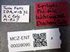 http://mczbase.mcz.harvard.edu/specimen_images/entomology/large/MCZ-ENT00028095_Pheidole_californica_var_shoshoni_lbs.jpg