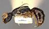 http://mczbase.mcz.harvard.edu/specimen_images/entomology/large/MCZ-ENT00028159_Holepyris_subapterus_hal.jpg