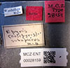 http://mczbase.mcz.harvard.edu/specimen_images/entomology/large/MCZ-ENT00028159_Holepyris_subapterus_lbs.jpg