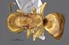 http://mczbase.mcz.harvard.edu/specimen_images/entomology/large/MCZ-ENT00028162_Cephalonomia_urichi_had.jpg