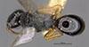 http://mczbase.mcz.harvard.edu/specimen_images/entomology/large/MCZ-ENT00028163_Laelius_fumipennis_had.jpg