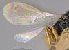 http://mczbase.mcz.harvard.edu/specimen_images/entomology/large/MCZ-ENT00028163_Laelius_fumipennis_win.jpg