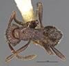 http://mczbase.mcz.harvard.edu/specimen_images/entomology/large/MCZ-ENT00028216_Tetramorium_regiventris_had.jpg