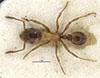 http://mczbase.mcz.harvard.edu/specimen_images/entomology/large/MCZ-ENT00028498_Strongylognathus_huberi_alboini_had.jpg