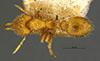 http://mczbase.mcz.harvard.edu/specimen_images/entomology/large/MCZ-ENT00028519_Strumigenys_bruchi_had.jpg