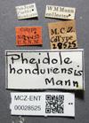 Media of type image, MCZ:Ent:28525 Identified as Pheidole hondurensis type status Syntype of Pheidole hondurensis. . Aspect: labels